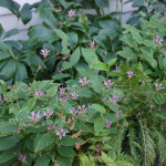 Toad Lily, Alaska Fern and Lenten Rose