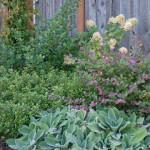 Lambs Ears, Razzleberry, Escallonia 'Newport Dwarf' and Hydrangea 'Preziosa'