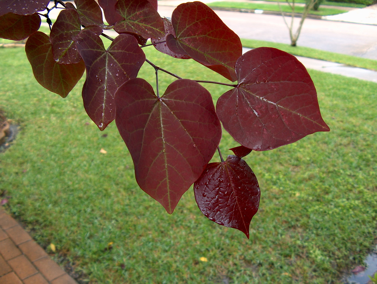Cercis Forest Pansy Leaf