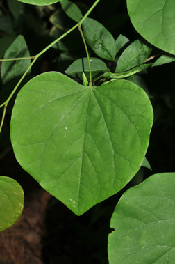Cercis canadensis leaf